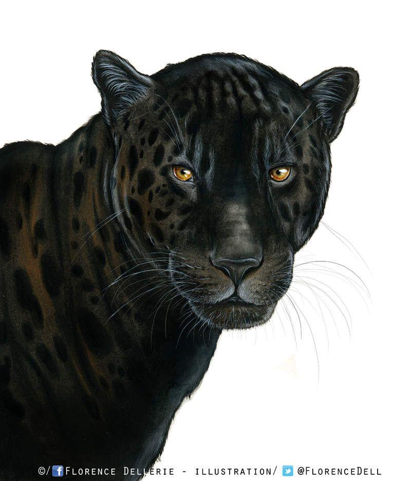 Le carton dessins de flo florence dellerie - Jaguar dessin ...