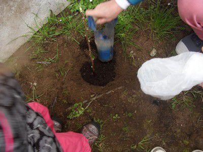 +PLANTATIONS DE PLANTS DE CASSIS ET DE FLEURS. Classe des Petites Sections