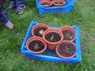 Découverte du vivant en Petites sections. Plantation de bulbes de jacinthe