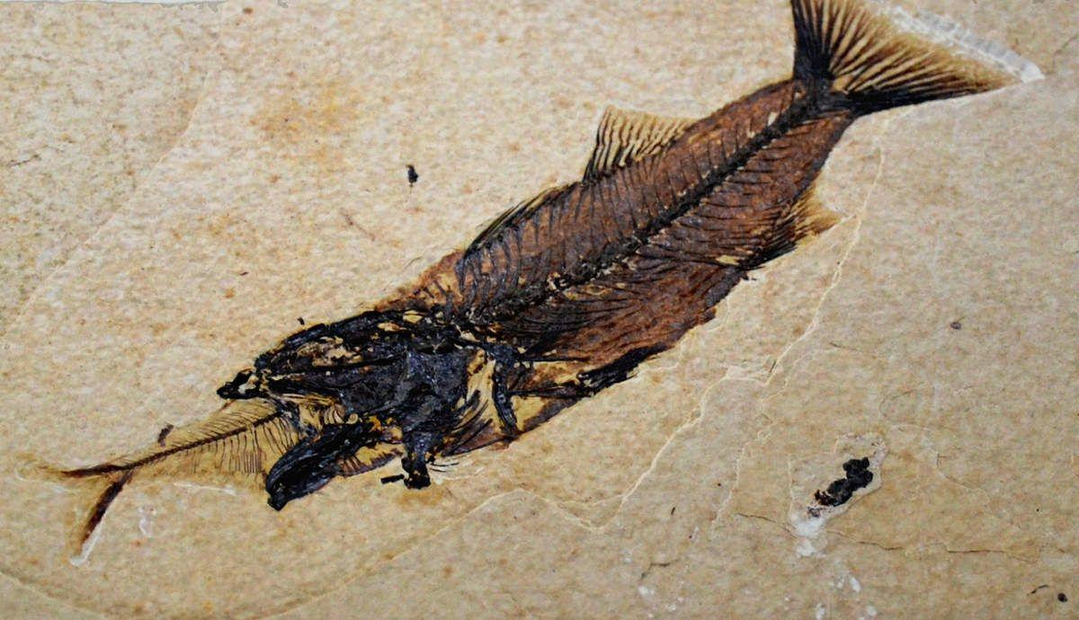 Poisson fossile - Muséum de Nantes