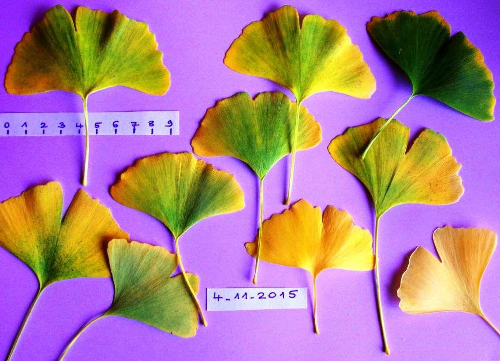 Les feuilles des Ginkgo biloba le 4 novembre 2015