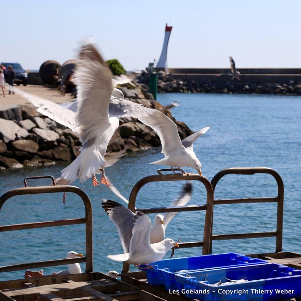 Goëlands dans le Port de La Turballe