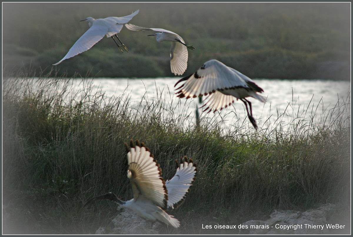 Les oiseaux des marais-salants