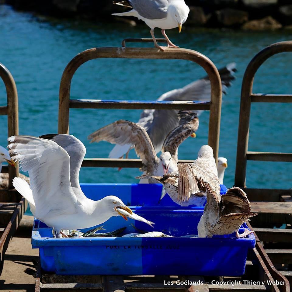 Les Goëlands dans le port de La Turballe