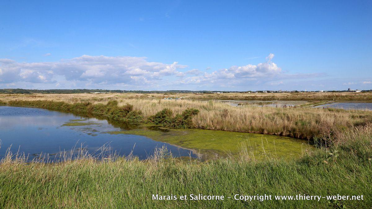 Marais-salants et Salicorne