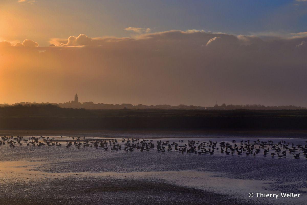 Les oies bernache dans les marais-salants Guérande