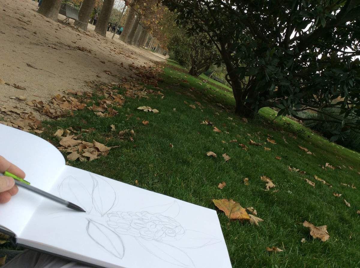 Étapes du dessin du fruit du Magnolia.