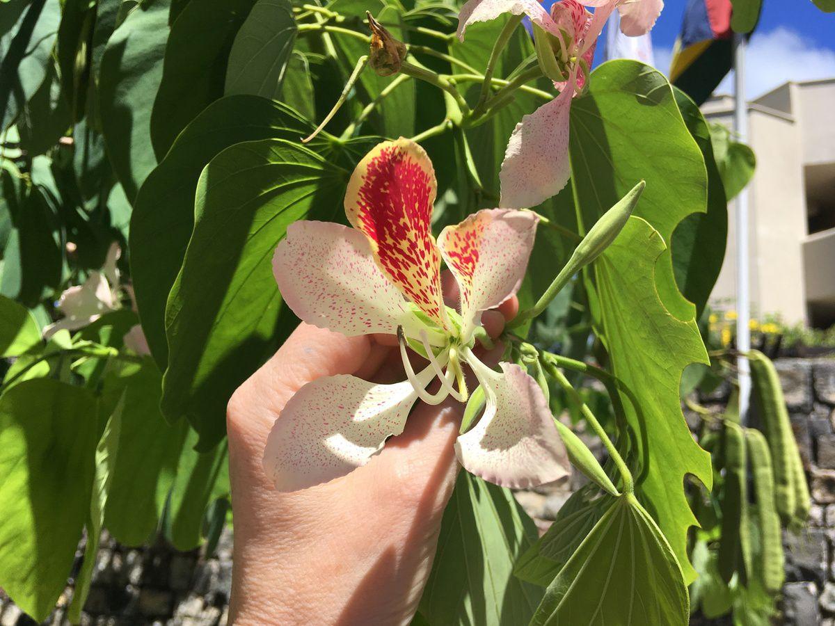 Ile Maurice L Arbre A Orchidees Bauhinia Monandra Mademoiselle Kati O