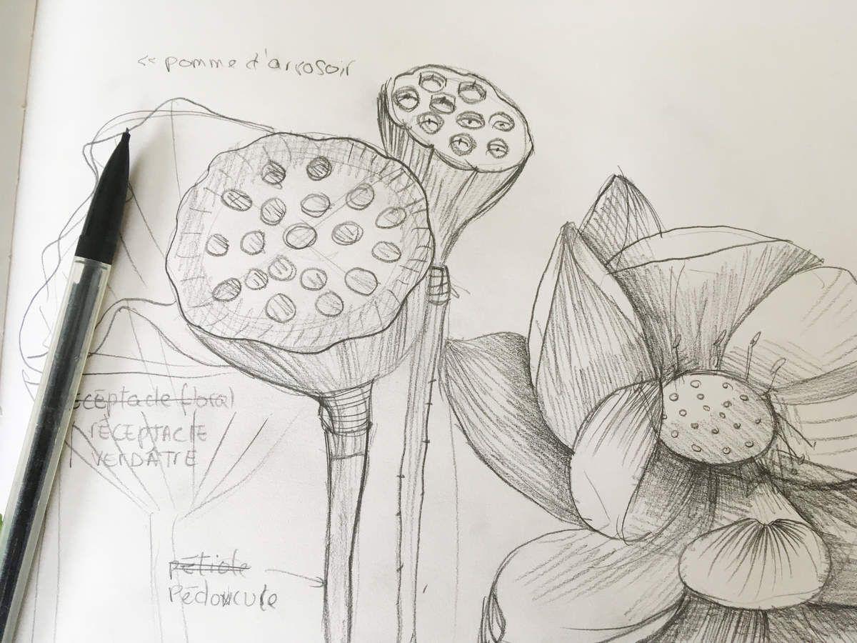 Dessiner au crayon 3 une fleur de lotus mademoiselle kati o - Belle fleur a dessiner ...