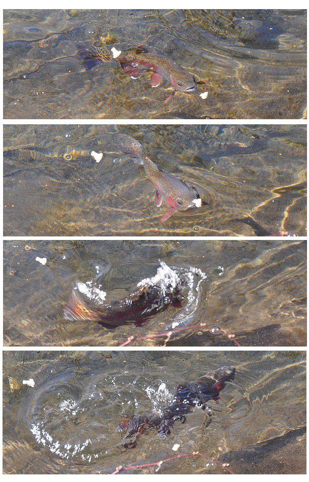 du poisson sinon rien....pour papoter le 1 avril