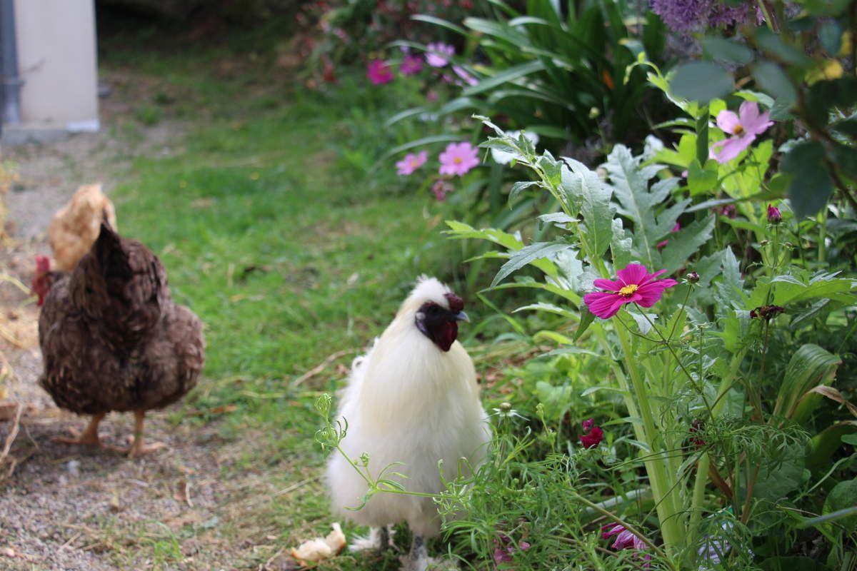 Des poules en passion