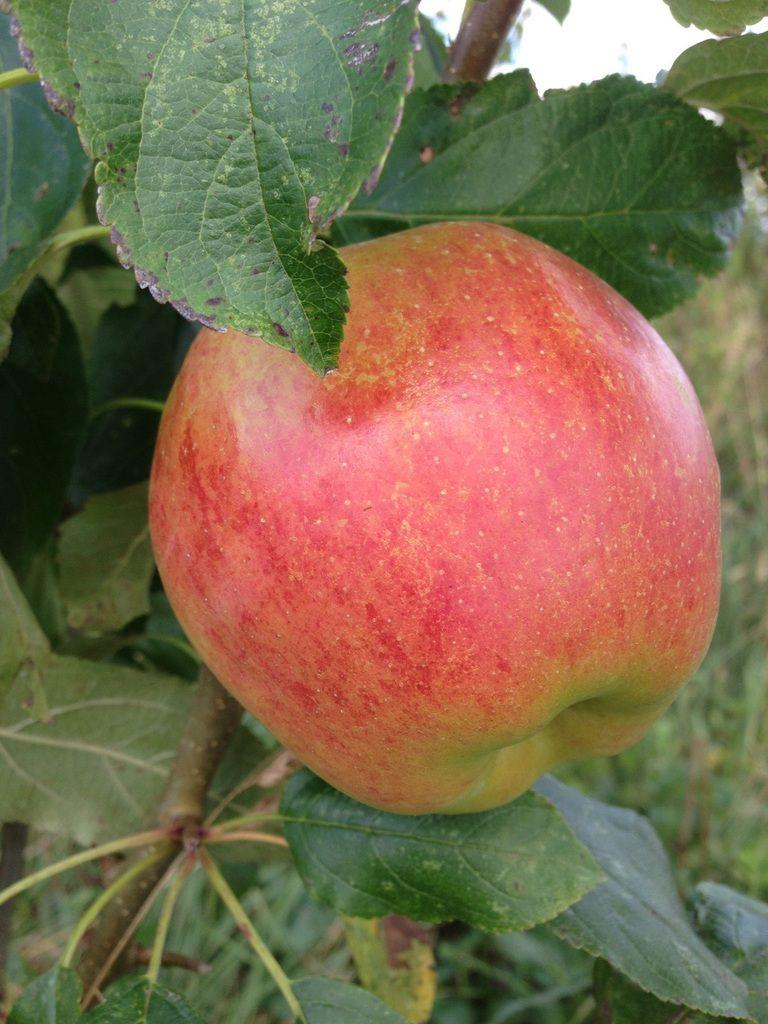 Les toutes premières pommes de notre jardin, une variété précoce qui ne se conserve pas. Ca fait drôlement plaisir !