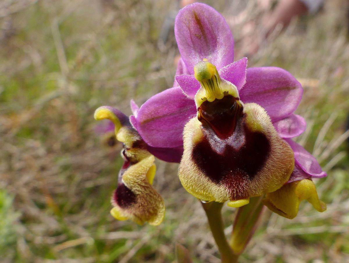 En Andalousie avec Pascal Jarige : quelques orchidées rares (4)