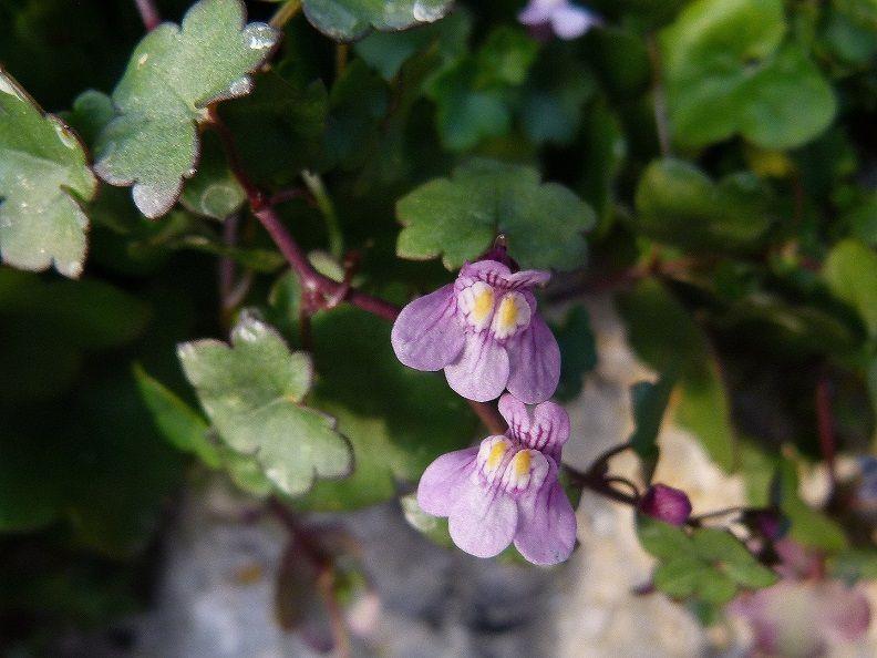 En décembre, de nombreuses plantes sont fleuries : Linaire cymbalaire, Primevère.