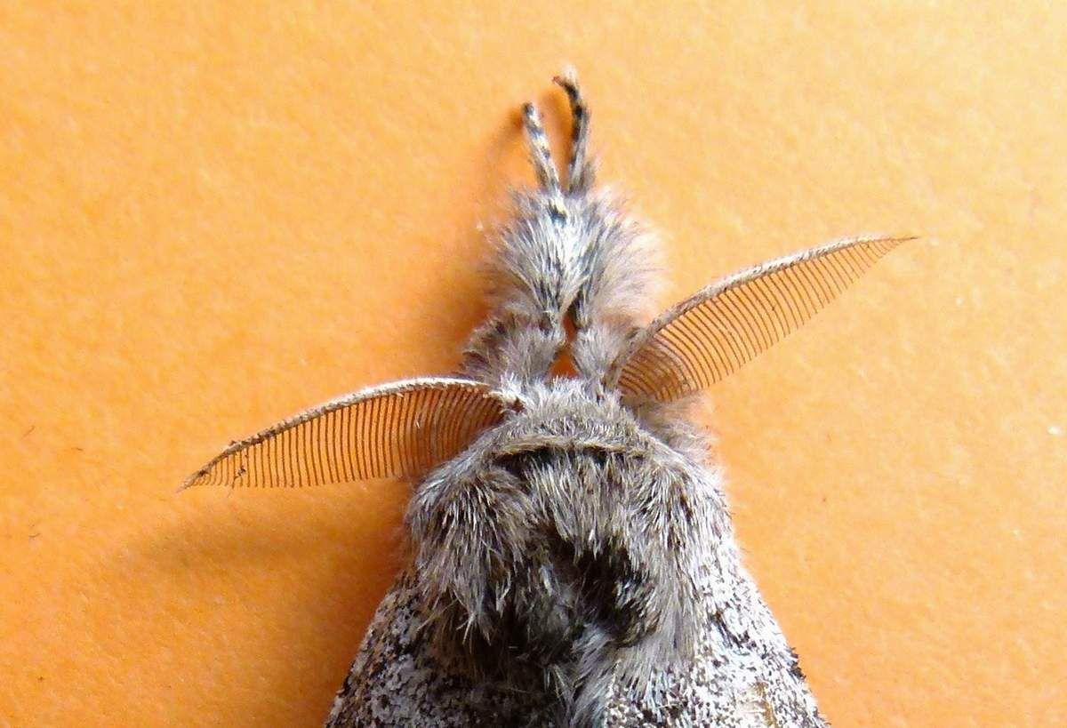 La Pudibonde, la Patte-étendue, Calliteara pudibunda  (Linné 1758)-