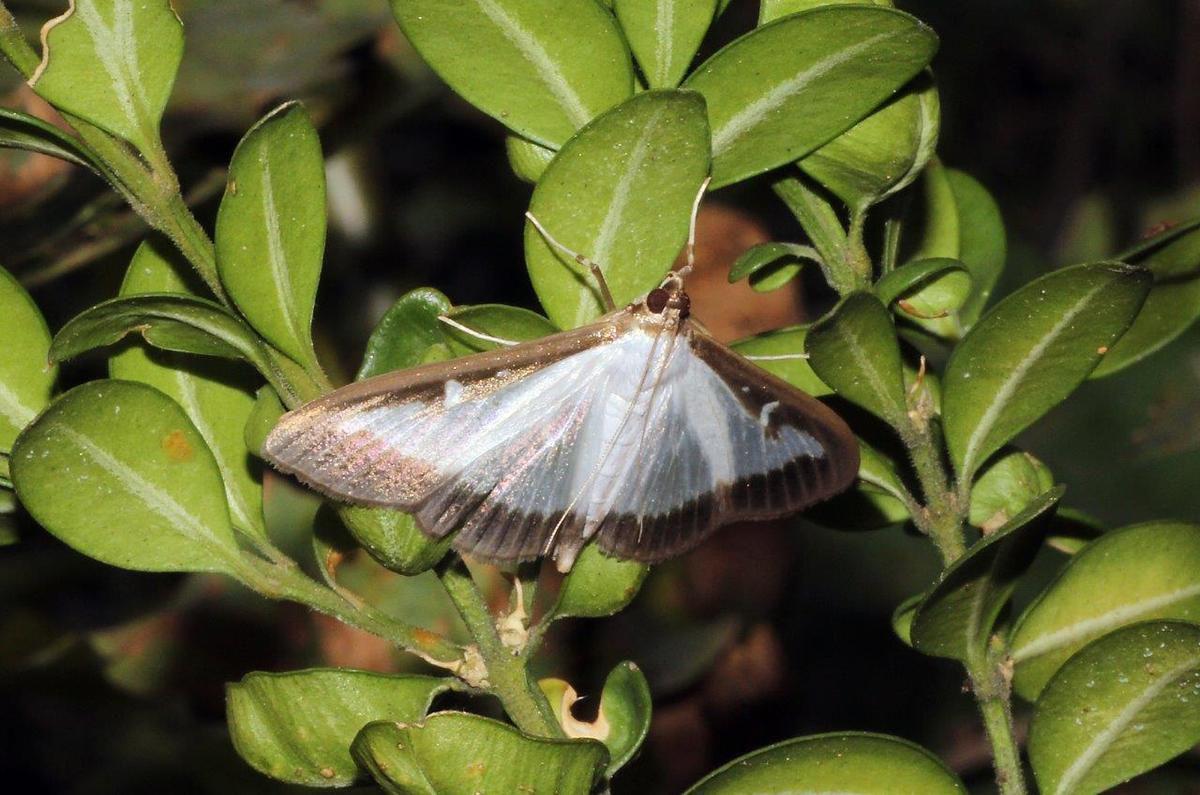 Pyrale du buis (Cydalima perspectalis) et sa chenille