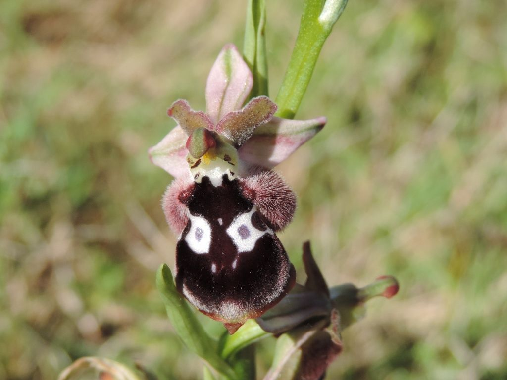 Ophrys reinholdii- Ophrys aesculapii -