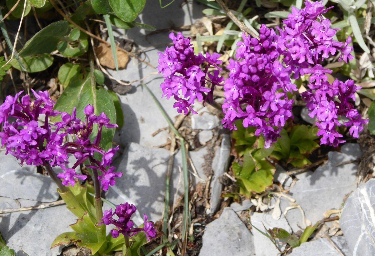 Orchis quadripunctata, l'Orchis à quatre points