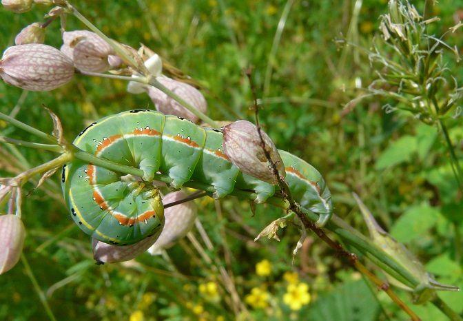 Cevins (73) sur Silene vulgaris, 12-6-2013-  La Côte de Marlens (74) sur Carduus arvensis, 21-6-2006