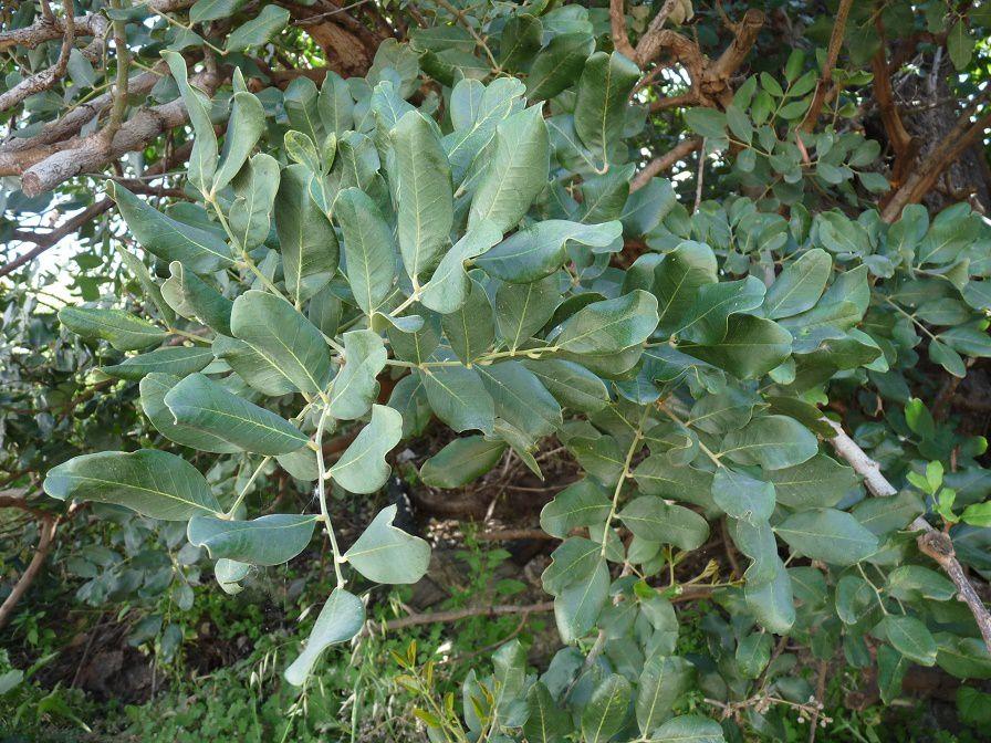 Dans le Péloponnèse avec Pascal Jarige (2) - Quelques plantes vues à Viglas : le caroubier