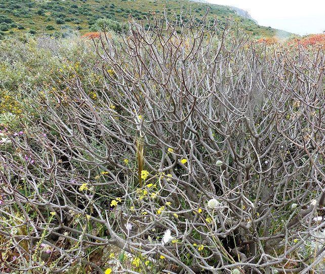 Quand les feuilles ont disparu, on voit bien les ramifications régulièrement dichotomiques.