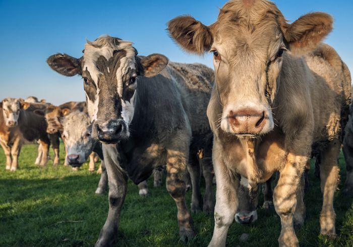 Pour réduire les émissions de méthane, une part de la solution est de réduire la taille des élevages et de les nourrir à l'herbe.