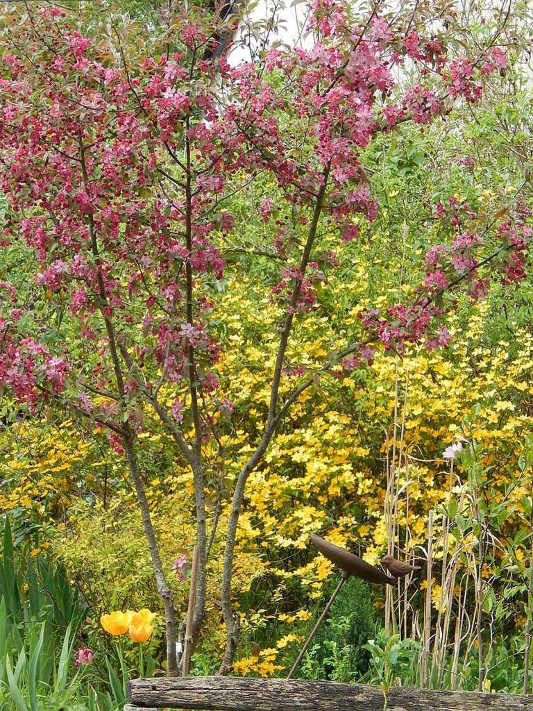 Malus coccinella, Corète à fleurs simples (Keria...) et quelques bricoles