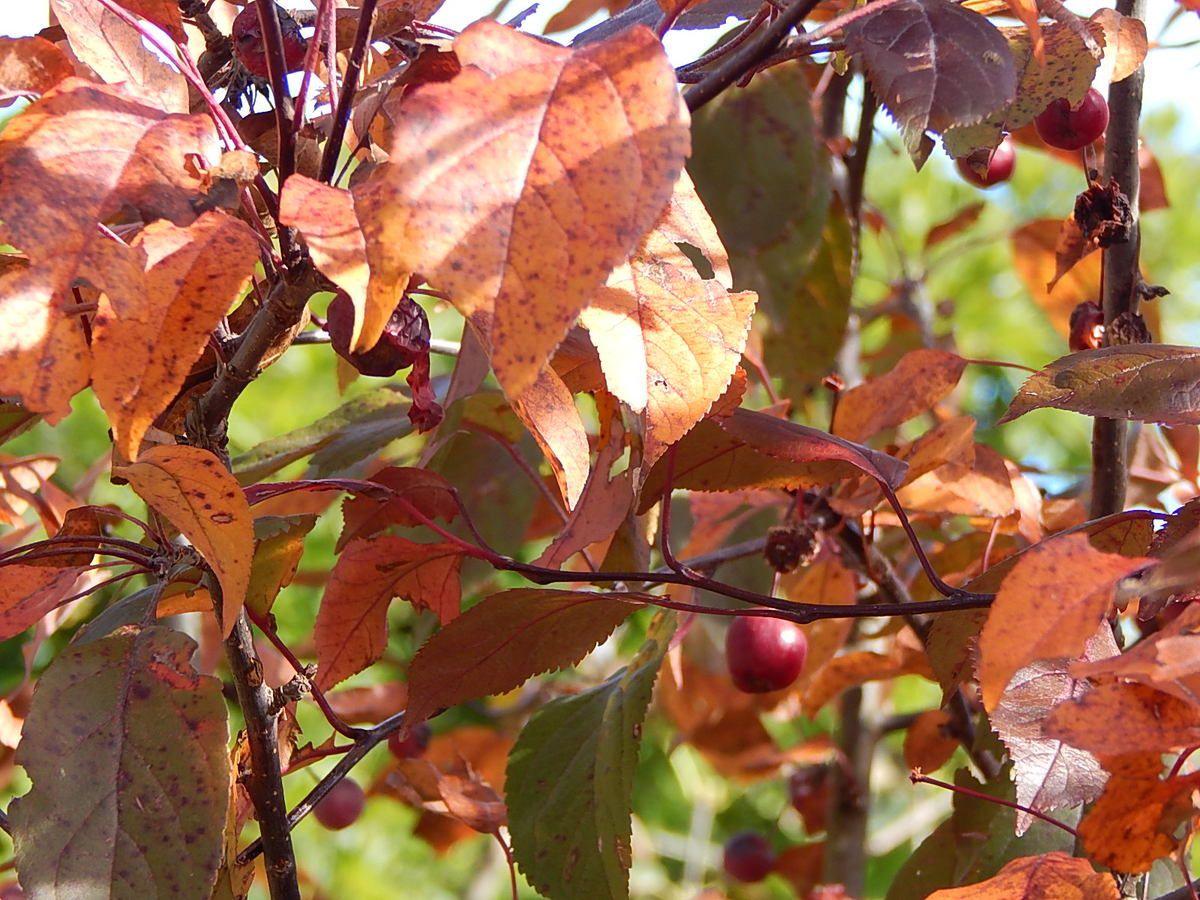 Malus Coccinella au jardin fin Octobe