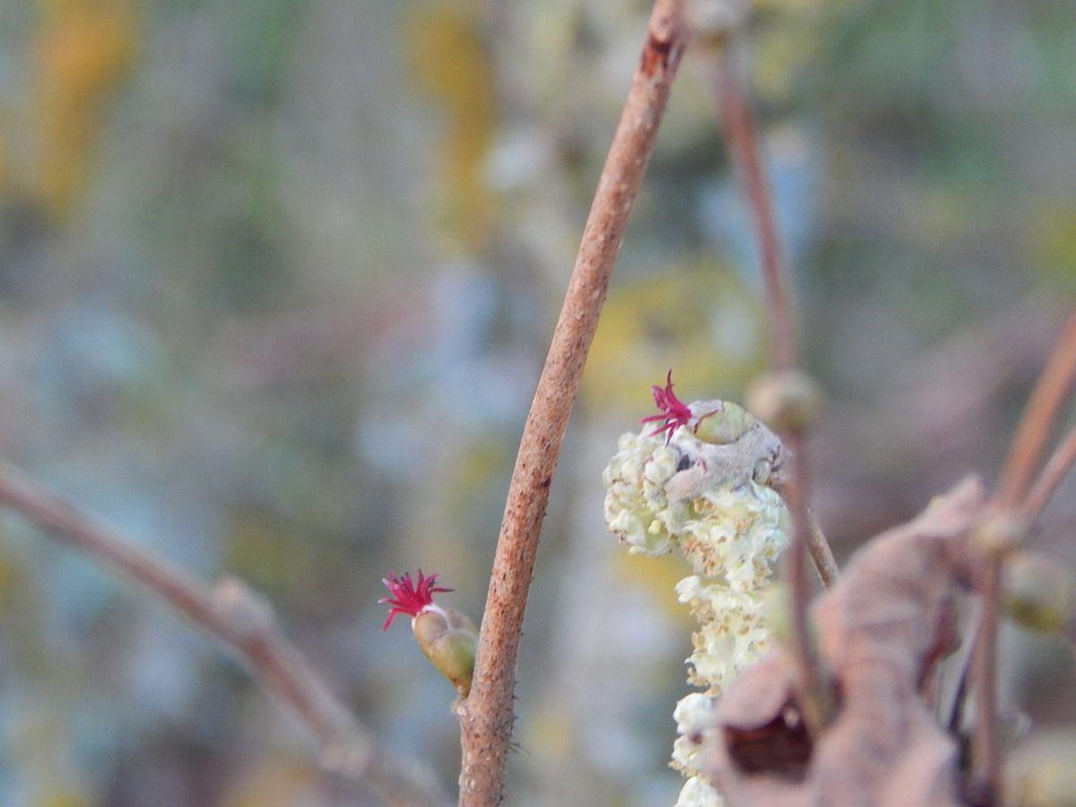 Les noisetiers sont en fleurs. la fleur femelle est rouge.