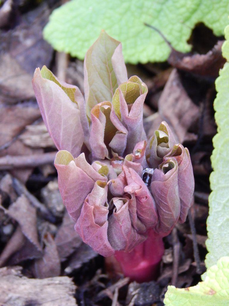 Paeonia japonica ( les Avettes, ou Sous un arbre perché ?)
