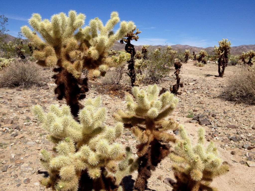 Cholla Cactus Garden - Joshua Tree Park - Californie