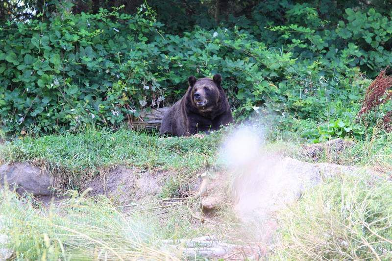 84 Ours grizzly à Hoonah - Alaska