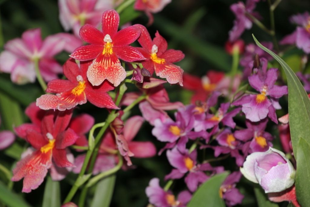 Orchidées à la Cloud Forest - Singapour