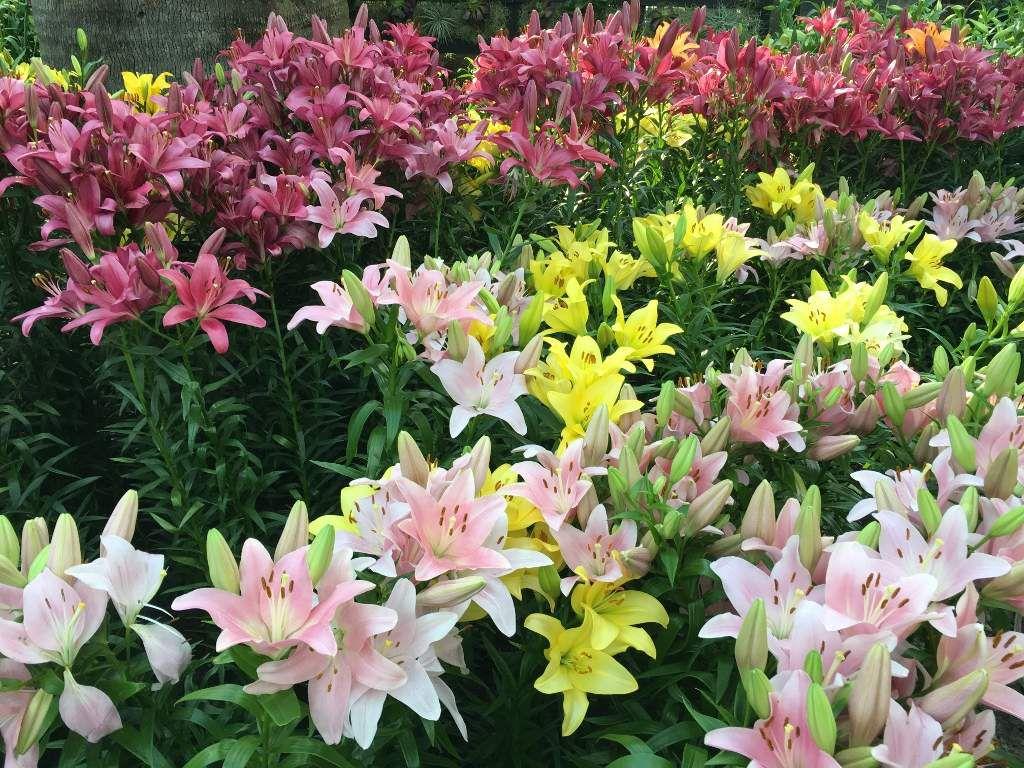 Les lys - liliums du Flower dôme - Ville de Singapour