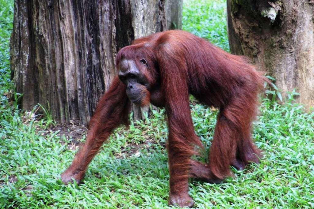 Primates du zoo de Singapour *