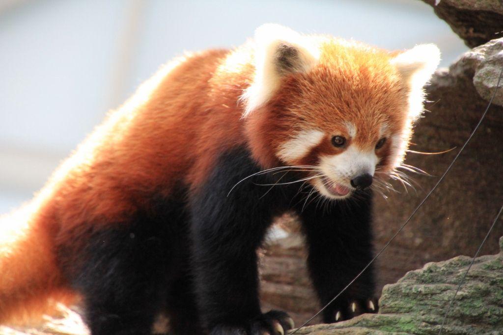 Pandas roux zoo de Singapour