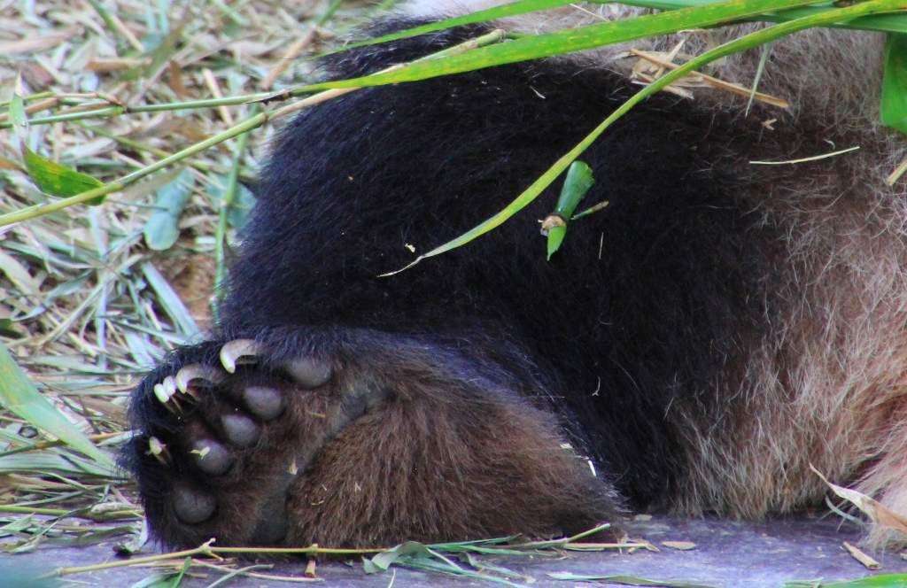 Les pandas du zoo de Singapour