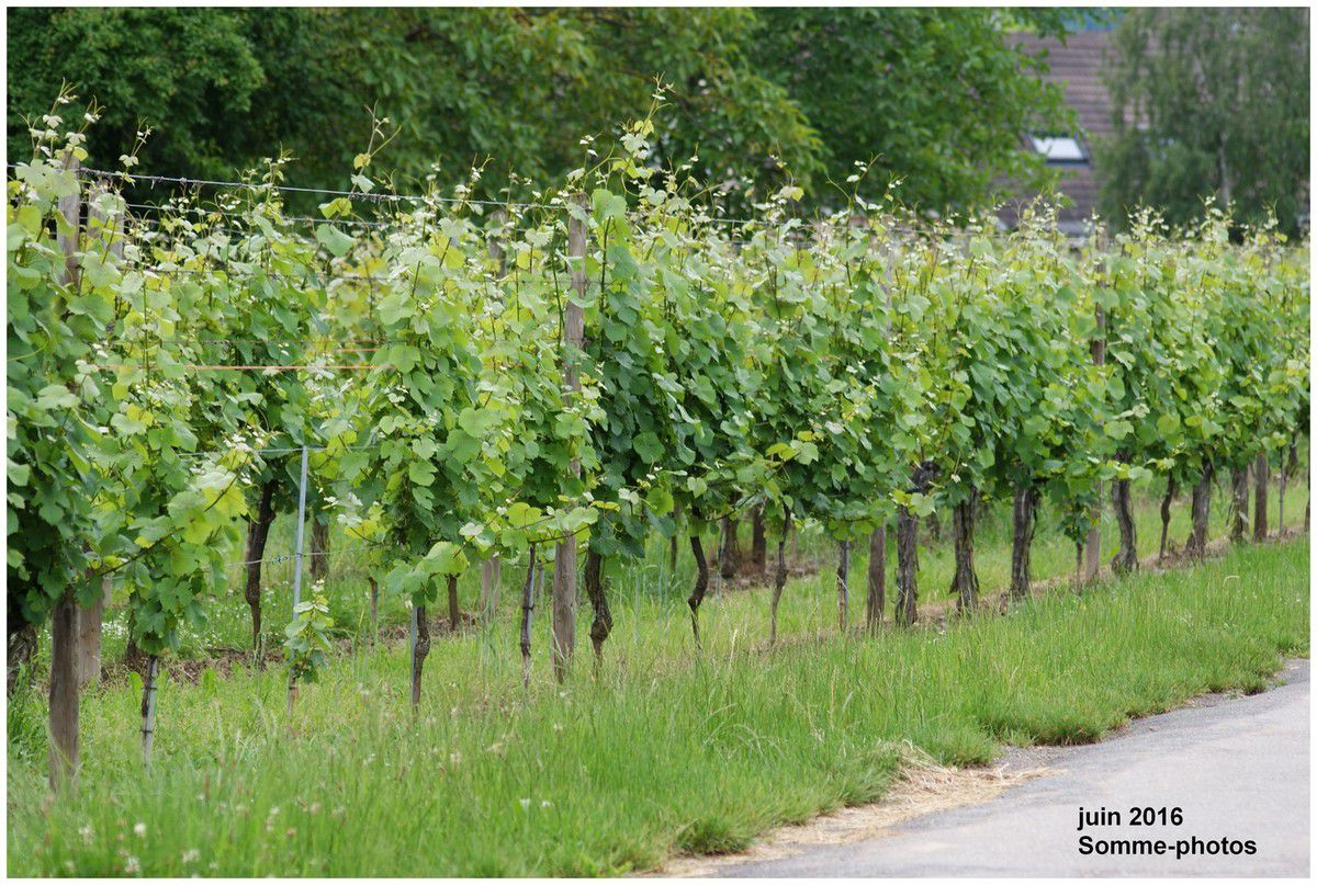 vignobles le long des routes