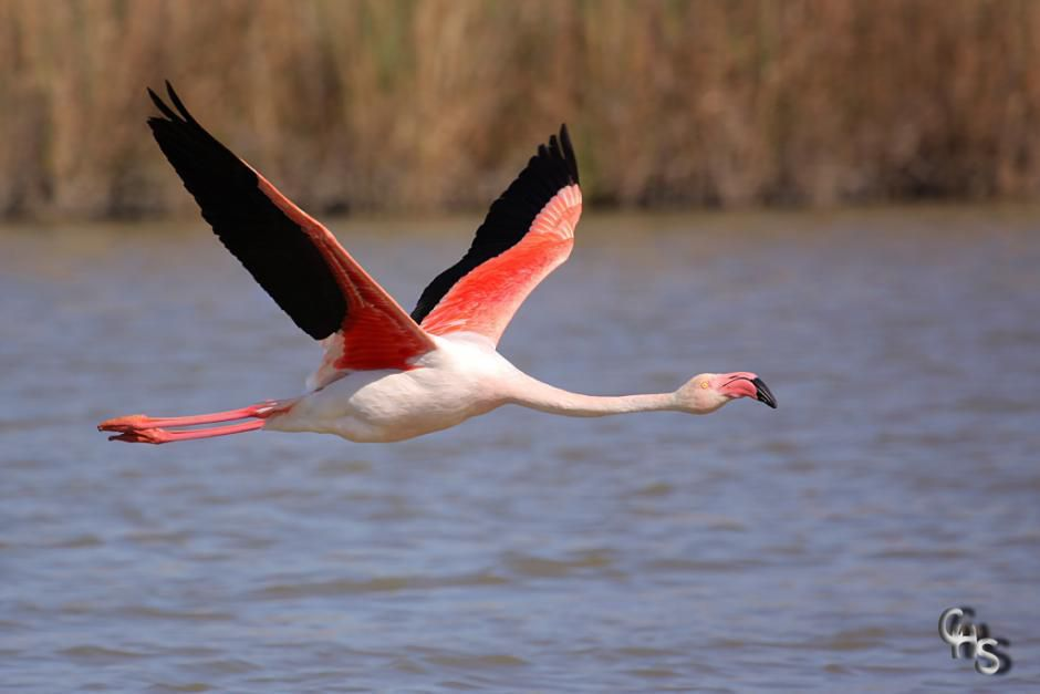http://ibc.lynxeds.com/photo/greater-flamingo-phoenicopterus-ruber/greater-flamingo-flying
