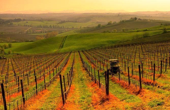 Vignes en Toscane