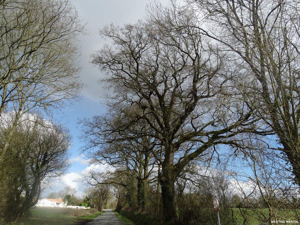 Grands chênes à #Grosbreuil #Vendée