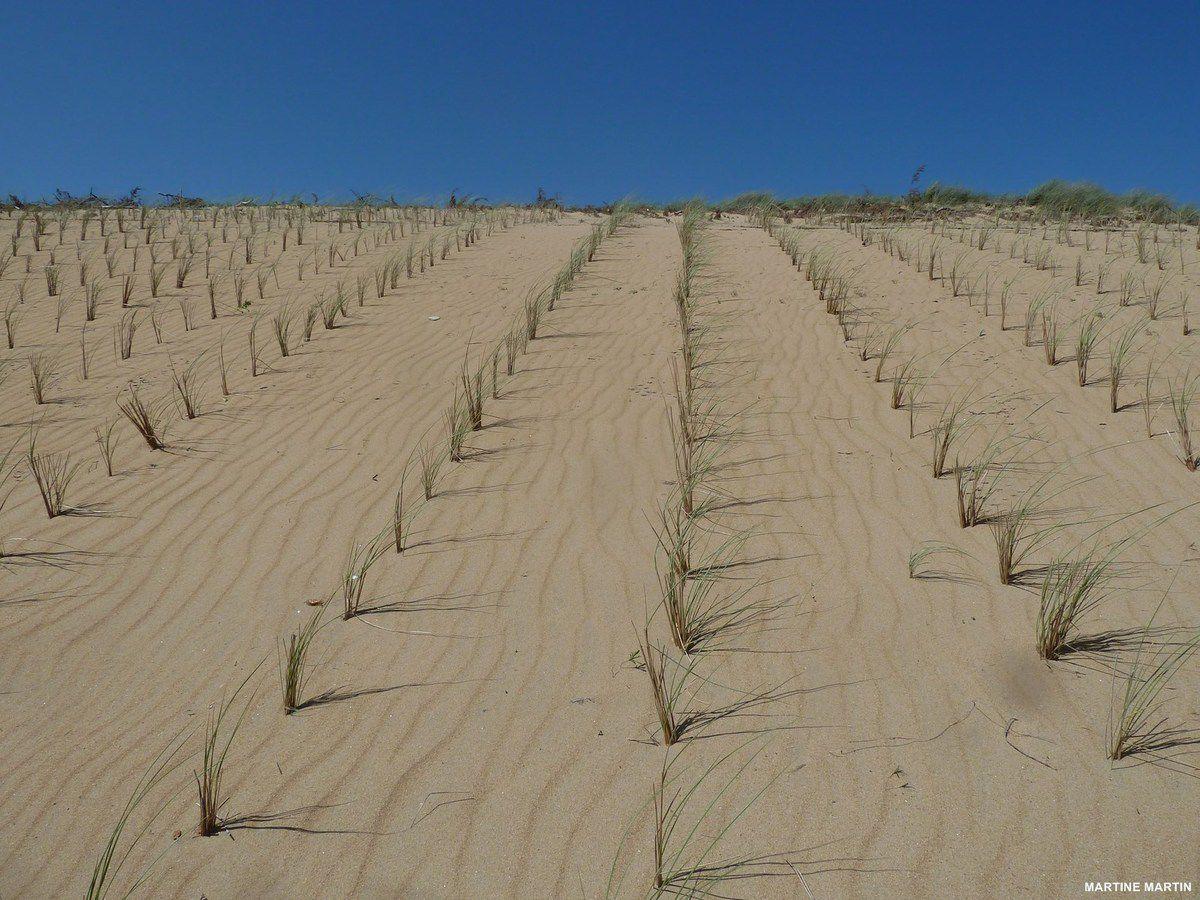 Oyats des dunes d'olonne sur mer