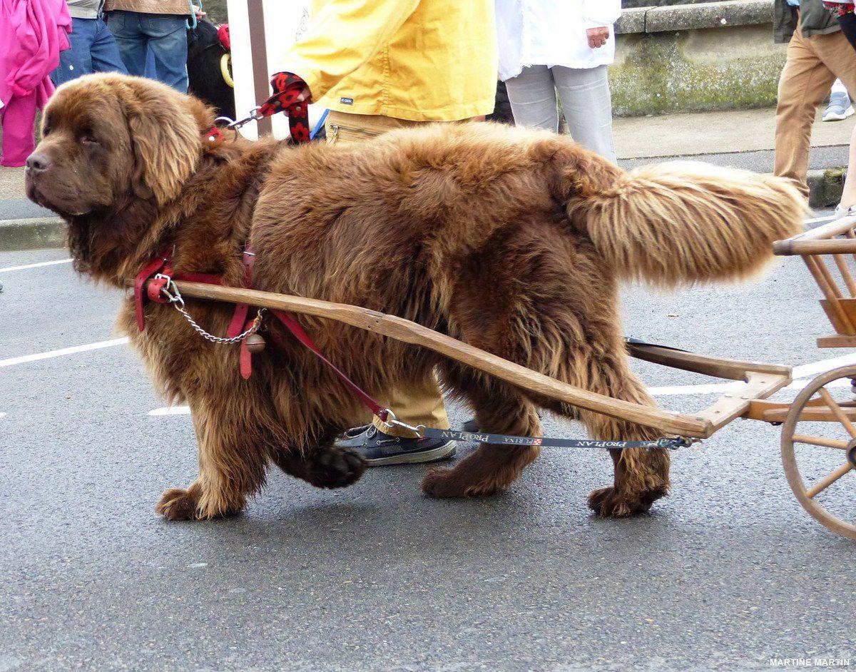 La grande bordée des Sables / défilé des chiens terre-neuve