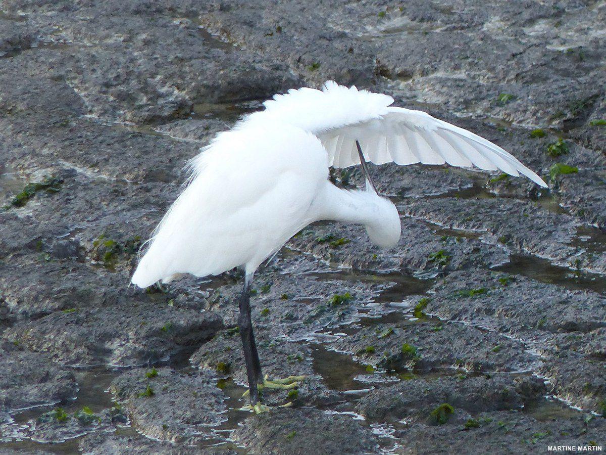 Les oiseaux des marais de Noirmoutier
