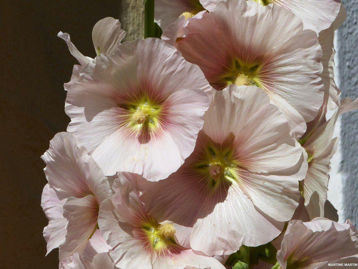 Roses trémières aux Sables d'Olonne