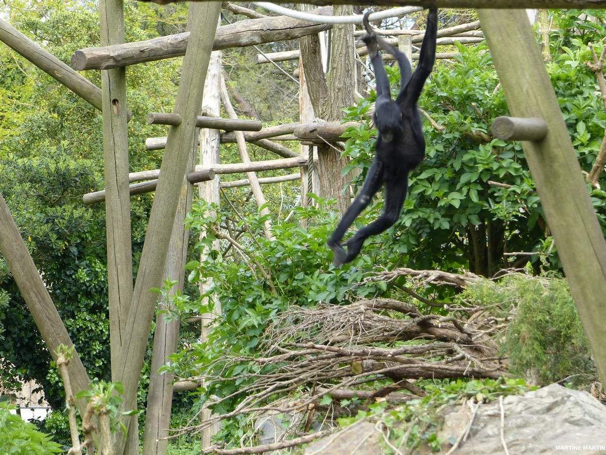 Bonheur familial chez les atèles noirs du zoo des Sables