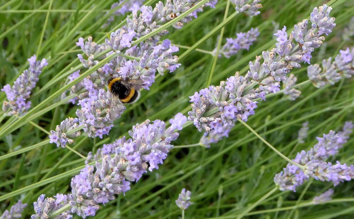 Bourdons et abeilles dans un jardin de la Vendée Littorale