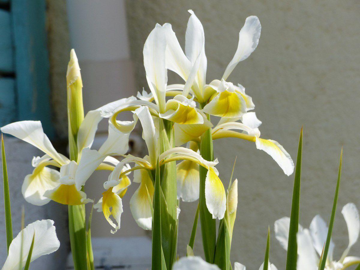 Fleurs de mon jardin des Sables d\'Olonne en mai - La Gazette des Olonnes