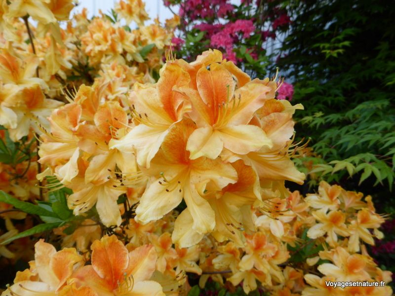 Nombreux rhododendrons