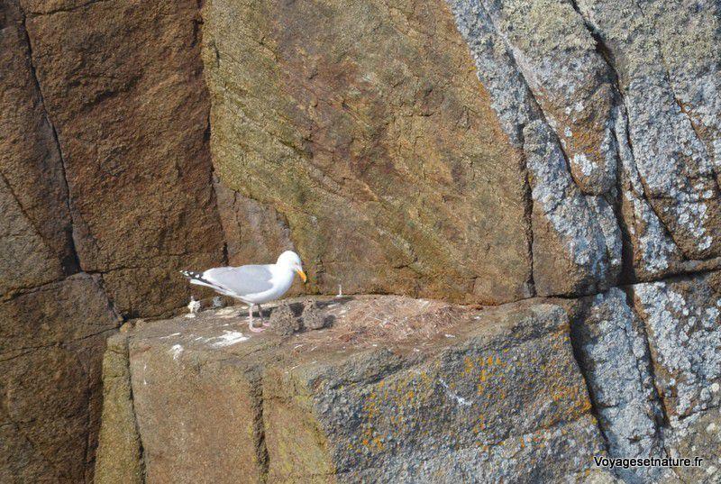Goéland argenté et ses 2 jeunes au nid sur la falaise
